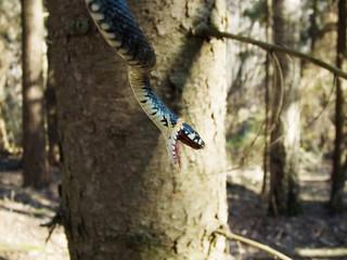 forest snake