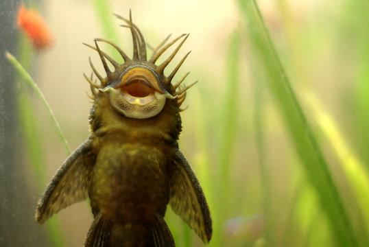 ancistrus fish