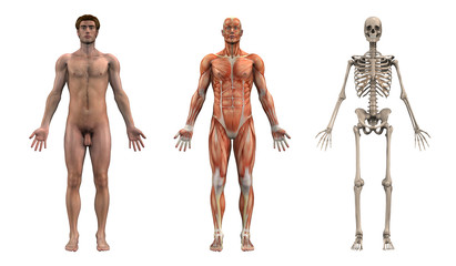 anatomical overlays - adult male - front view