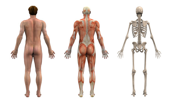anatomical overlays - adult male - back view