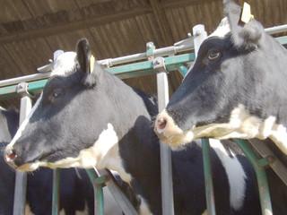 Fototapete - 2 cows