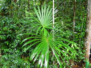 pflanzen in amazonien,  brasil