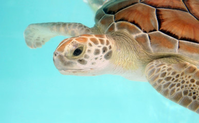 water turtle