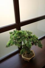 japanese dwarfish pine