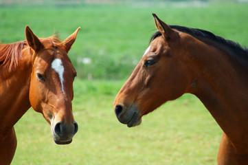 zwei pferdeköpfe