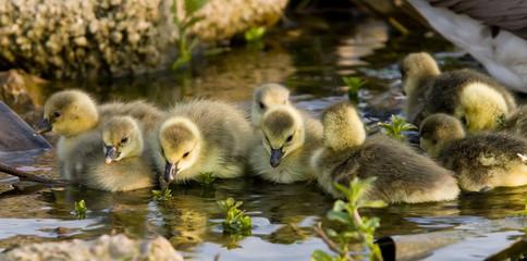 goslings in sunshine