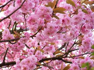 In de dag Macro cherry tree