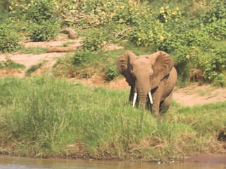 elephant on river bank