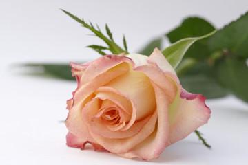 orange rose on the white