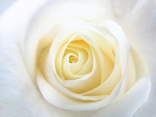 coeur de rose jaune pâle