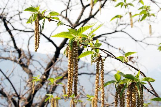 flowering hazel