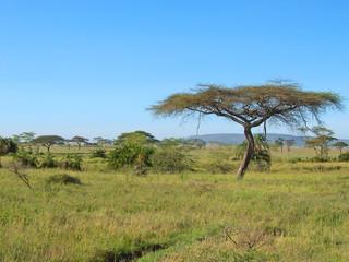 acacia in the african savanna, serengeti park, tanzania Wall mural