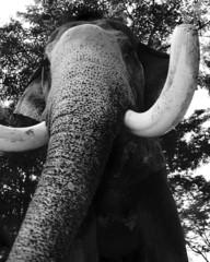 thai elephant 4