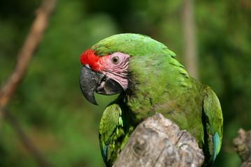 perroquet vert