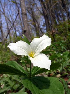 white ontario trillium