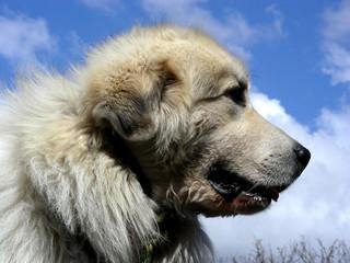 slobbery big dog