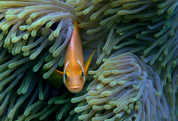 anemonefish in indian ocean