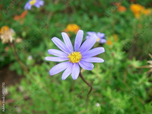 petite fleur violette photo libre de droits sur la banque d 39 images image 3233732. Black Bedroom Furniture Sets. Home Design Ideas