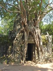 banyan tree covering entirely an old khmer pyramid temple, bayon
