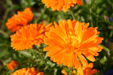 close up calendula