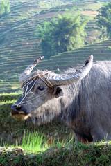 buffle dans les rizieres