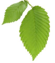 leaf of an elm