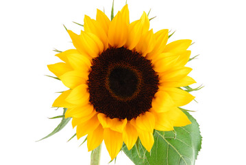 sun flower collection