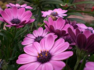 lila margeriten