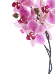 Wall Murals Orchid pink orchid