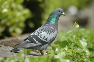 pigeon et lierre