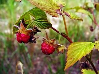 wild rasberry