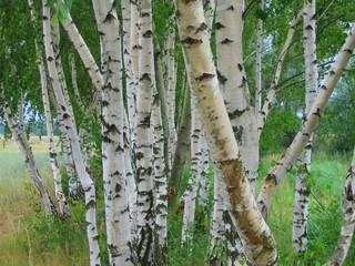 Spoed Foto op Canvas Berkbosje birch