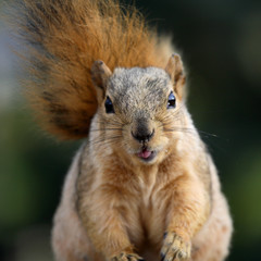 cute squirrel sticking her tongue out