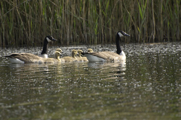 family of canada goose / geese