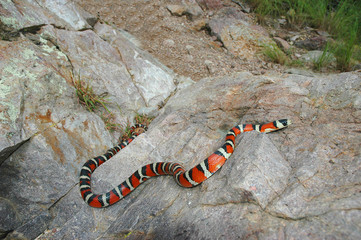 sonoran mountain kingsnake