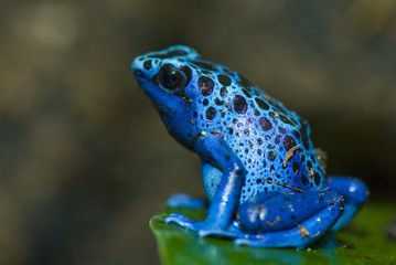 Photo sur Toile Grenouille grenouille bleu