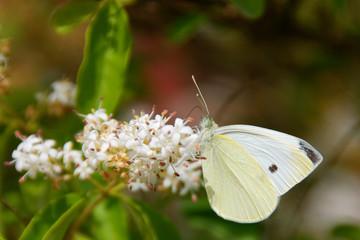 farfalla nel fiore
