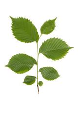 green elm branch.