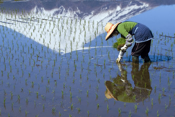 woman planting rice