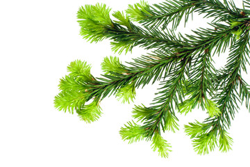 branch of fir isolated on white