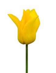 Aluminium Prints Tulip yellow tulip