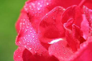 pétales de rose et gouttelettes d'eau