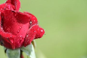 goutte d'eau sur bouton de rose