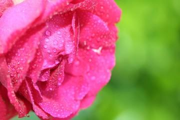 rose et gouttelettes d'eau