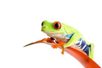 Photo sur Plexiglas Grenouille frog on guzmania