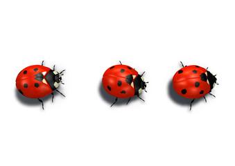 Fototapeta three red ladybugs in line obraz