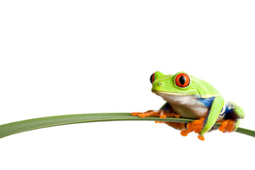 Fotobehang Kikker frog on a leaf