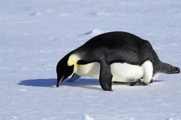 fallen penguin