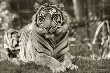 Printed roller blinds Tiger tiger