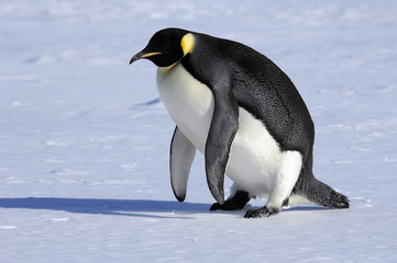 emperor penguin stands up
